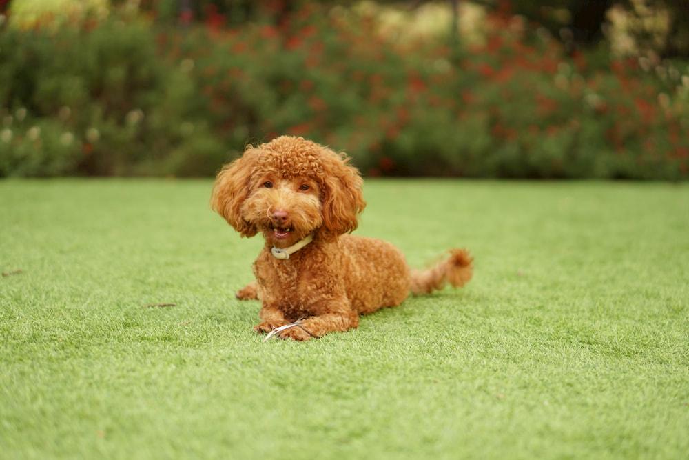 Brown poodle in yard