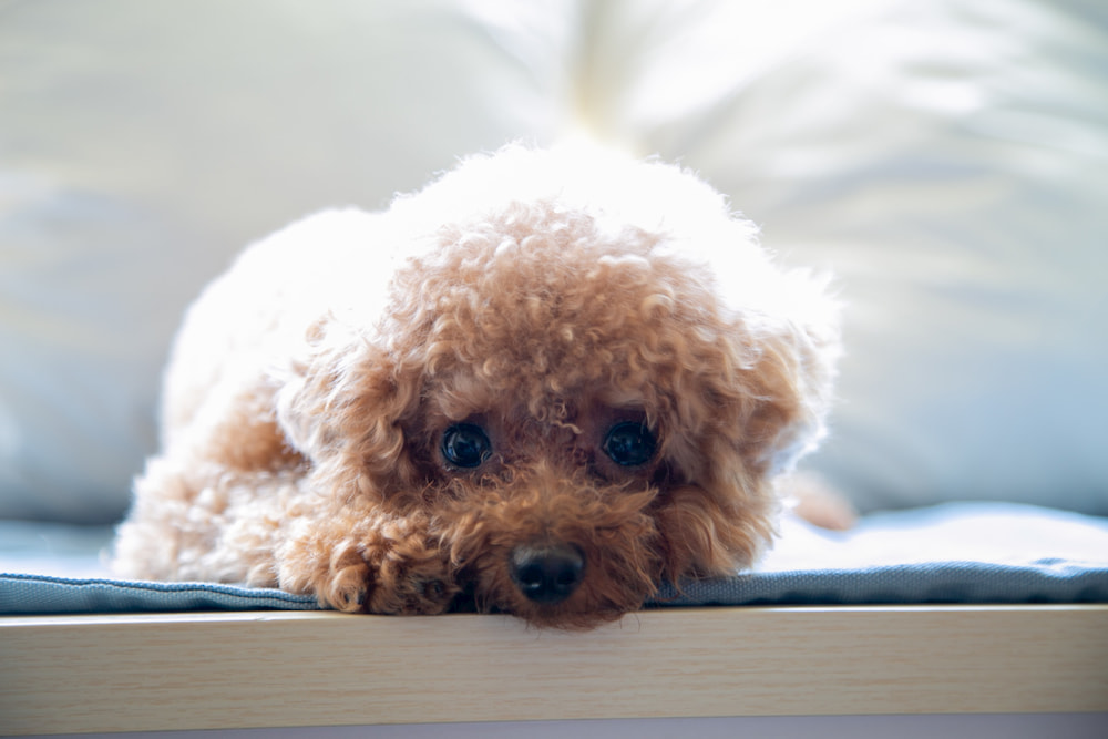 Toy poodle puppy looking at camera
