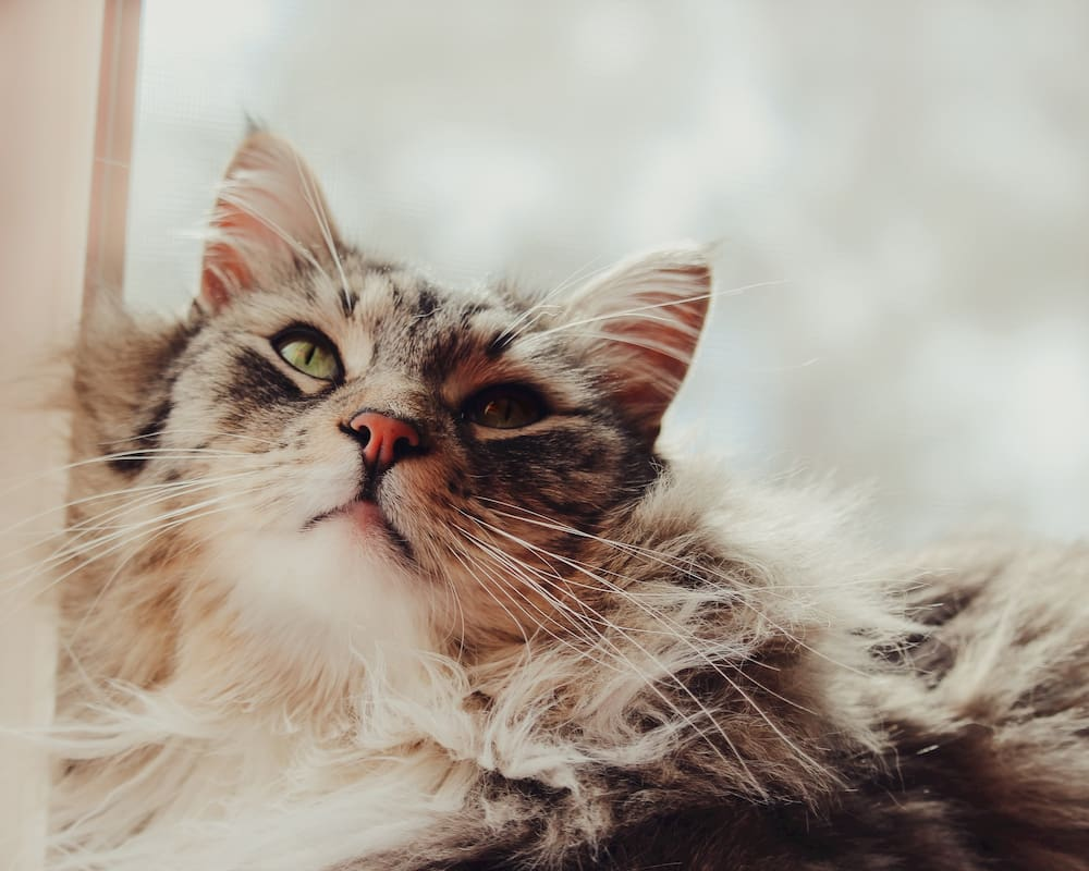 Maine Coon cat looking up