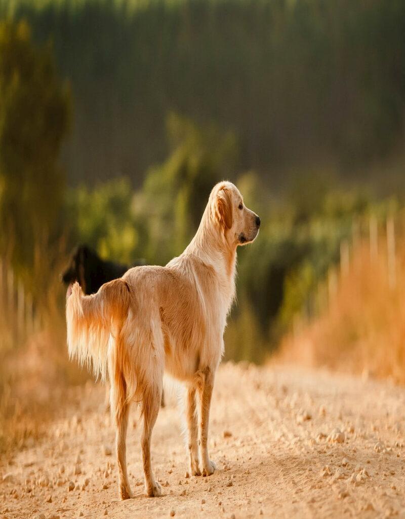Golden retriever on dirt road