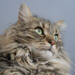 Fluffy Maine Coon cat with green eyes