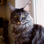 Maine Coon cat with yellow eyes