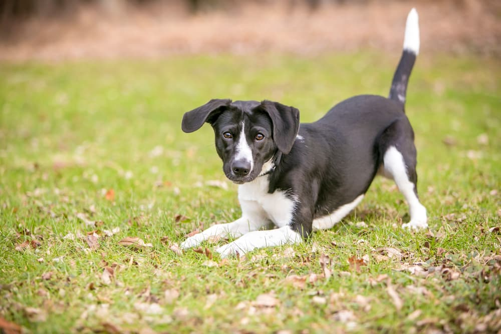 Dog Tail Facts: Info on Wagging, Chasing, and More