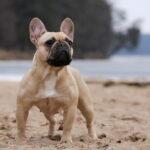 French Bulldog posing on beach