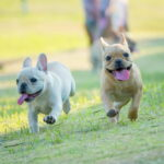 French Bulldog friends running at park