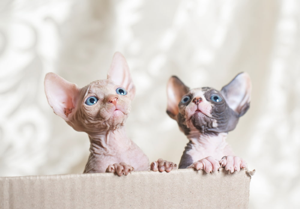 Two baby Sphynx cats