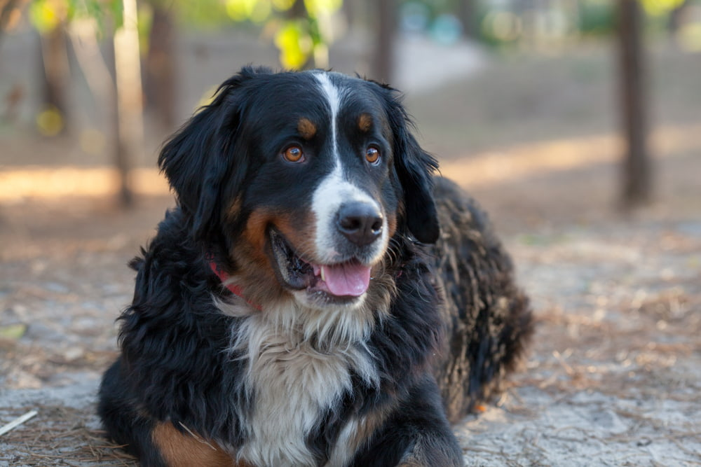 Smiling Bernese Mountain dog outside