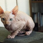 Wrinkly Sphynx cat
