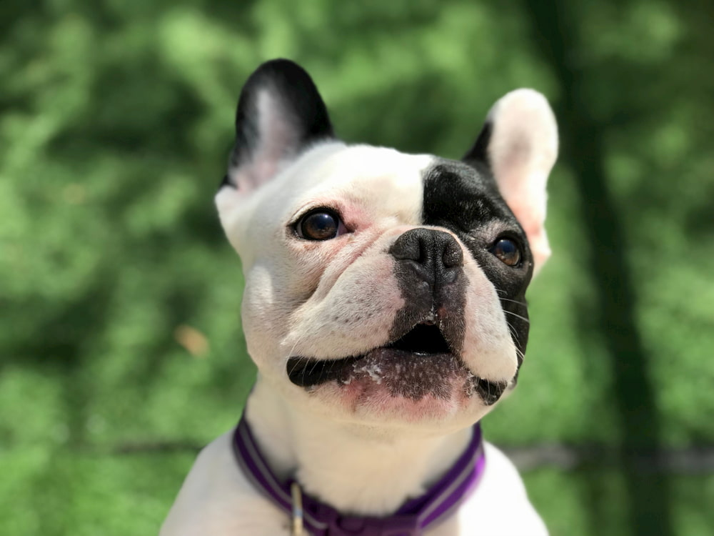 French Bulldog barking