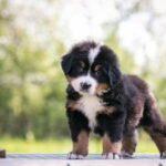 Bernese puppy looking at camera