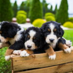 Cute Bernese puppies in wooden crate
