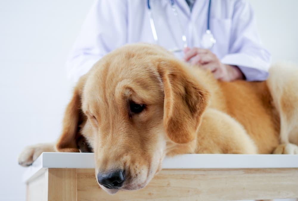 Dog at the veterinarian being examined