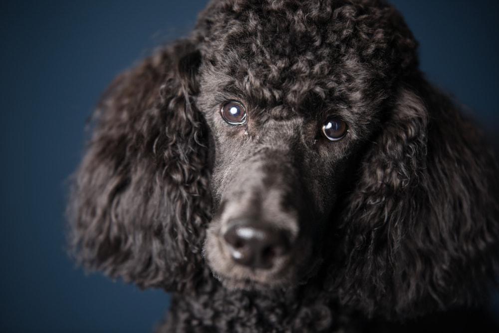 Portrait photo of a black Poodle