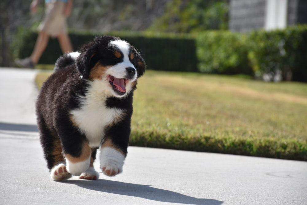 Bernese Mountain Dog puppy running