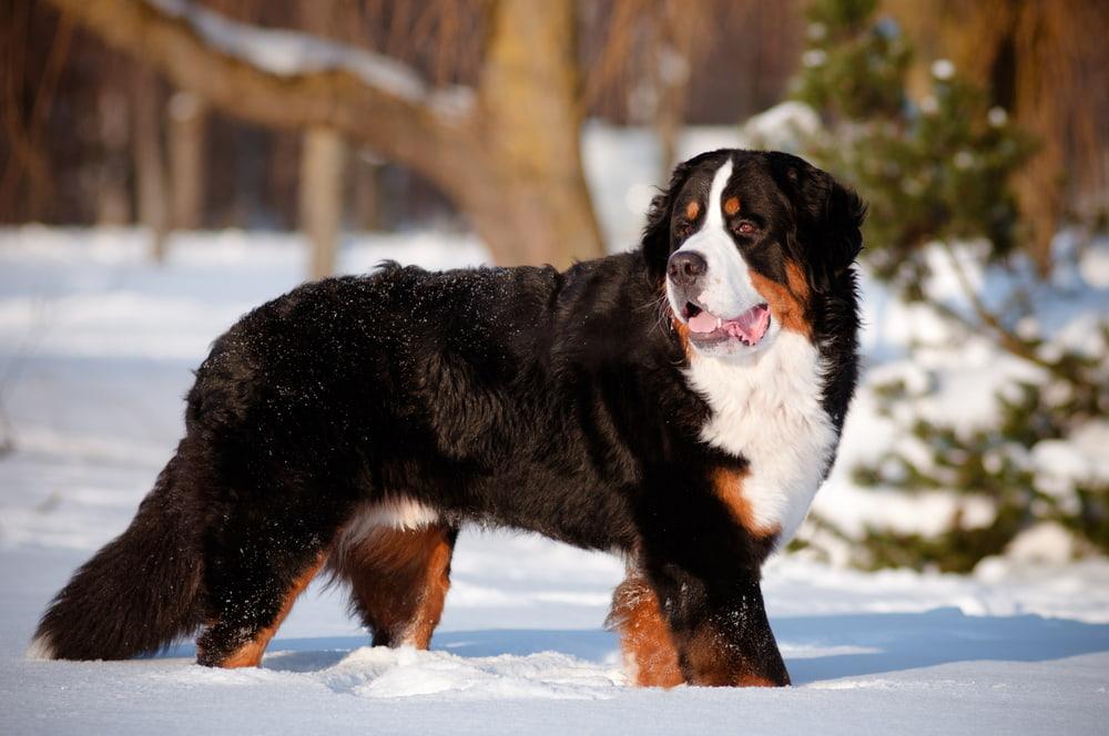Bernese Mountain Dog enjoying the snow