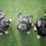 Three blue French Bulldog puppies