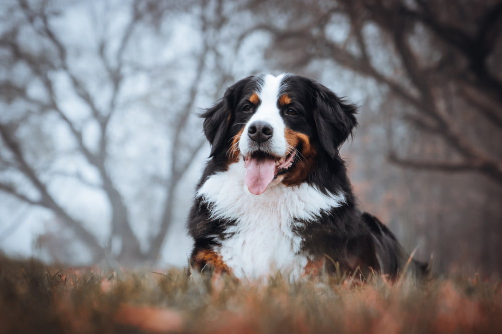 Bernese Mountain Dog in the woods in fall