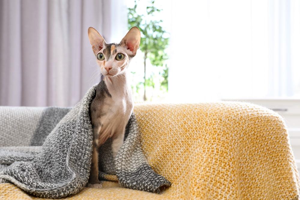 Sphynx-cat-under-blanket