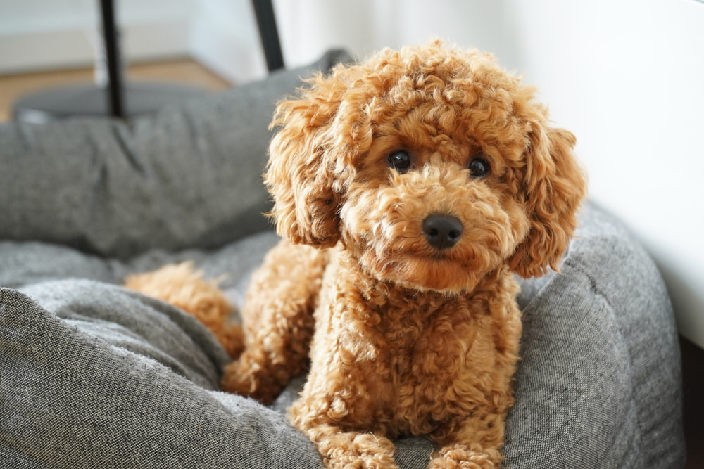 Fluffy teddy bear Poodle in dog bed