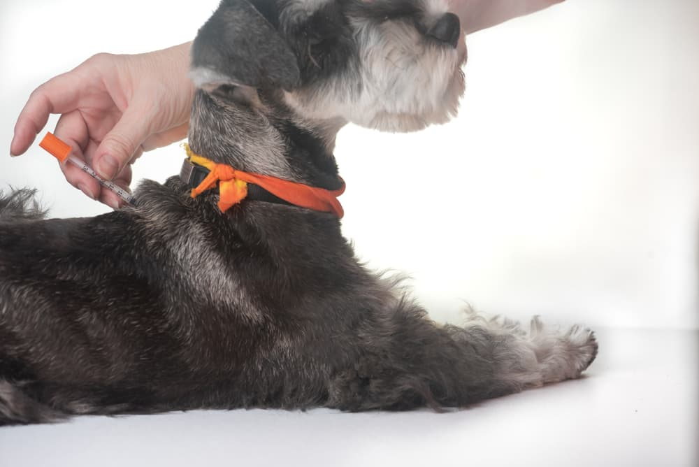 Dog receiving an injection in back of body