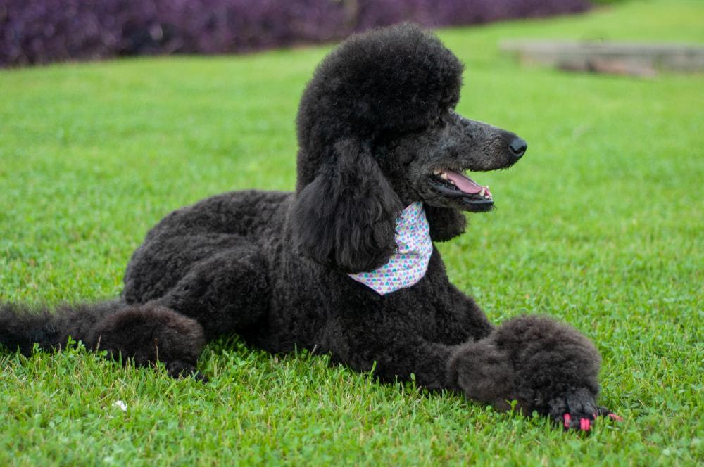Black Standard Poodle outside