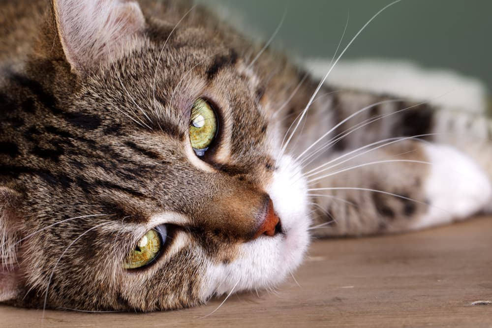 Close up of cat laying down looking unwell