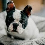 Black and white French Bulldog on bed