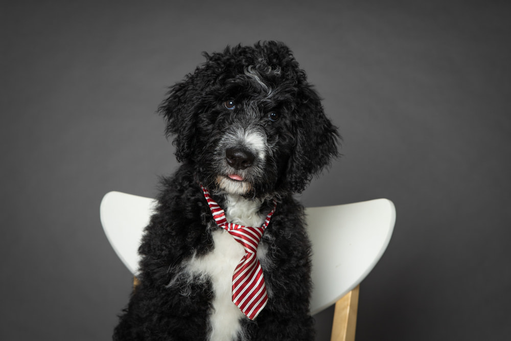 Picture of Bernedoodles wearing a tie