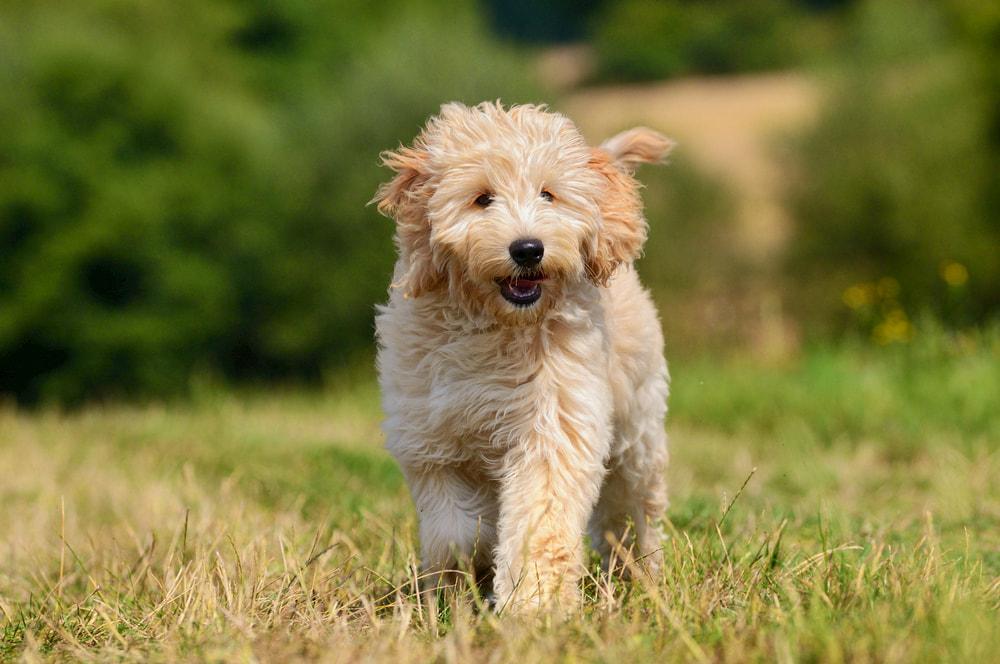 Goldendoodle dog outside