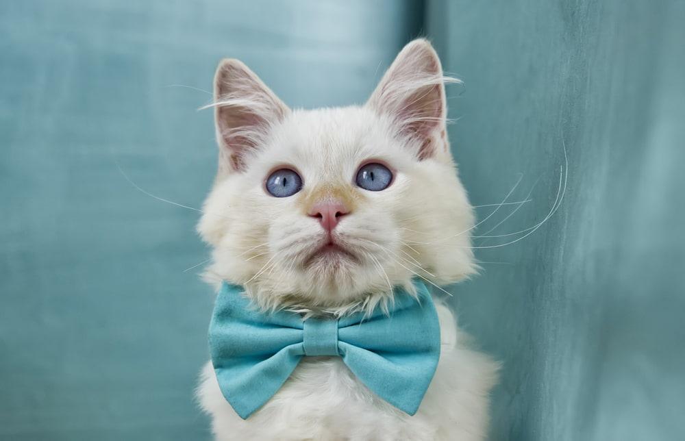 Male cat in a blue bowtie