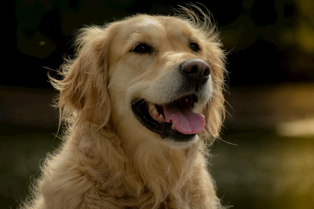 Smiling Golden Retriever