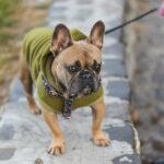 French bulldog in sweatshirt on walk