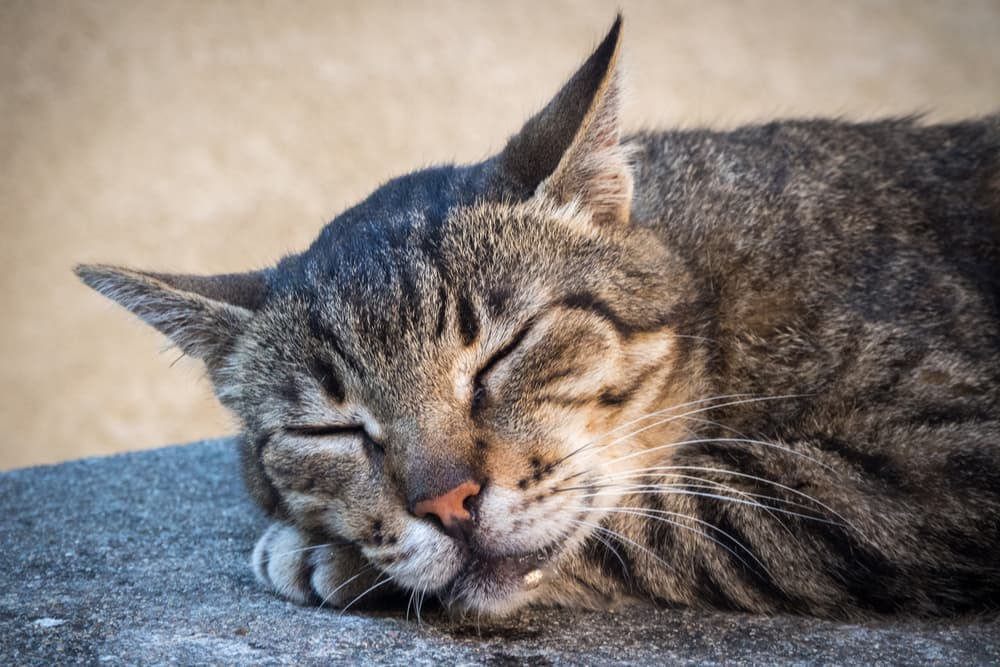 Why Do Cats Drool? Common Causes, Explained.