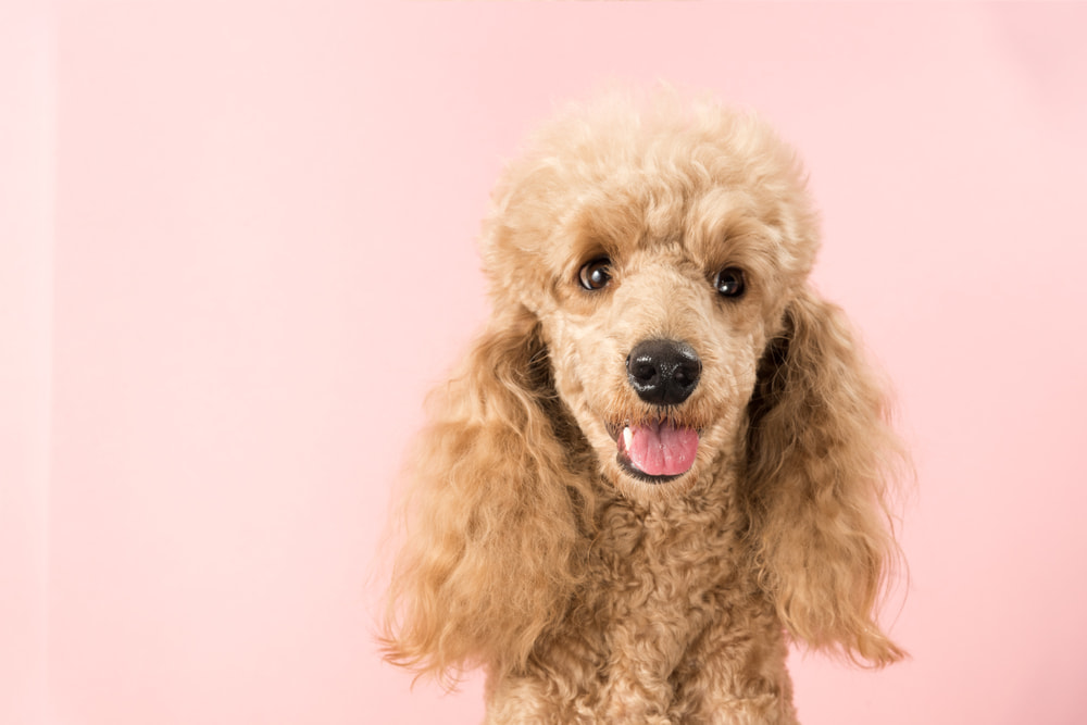 Cute brown Poodle on pink background