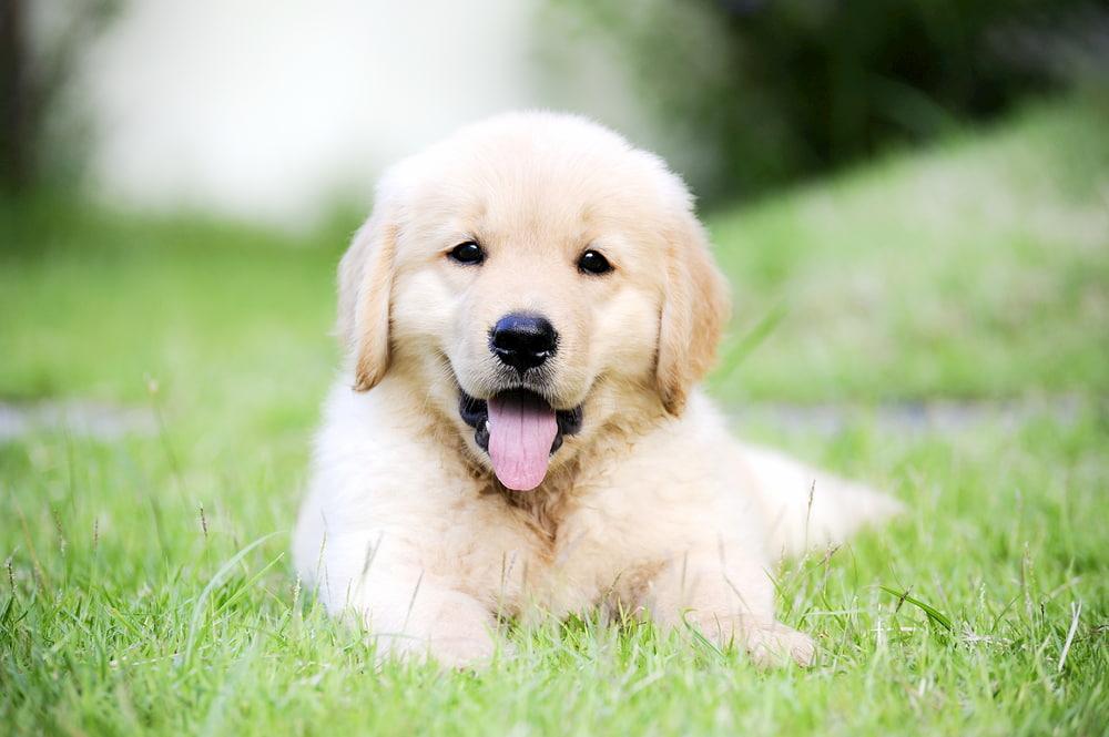 Cute Golden Retriever personality
