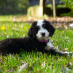 Bernedoode puppy outside