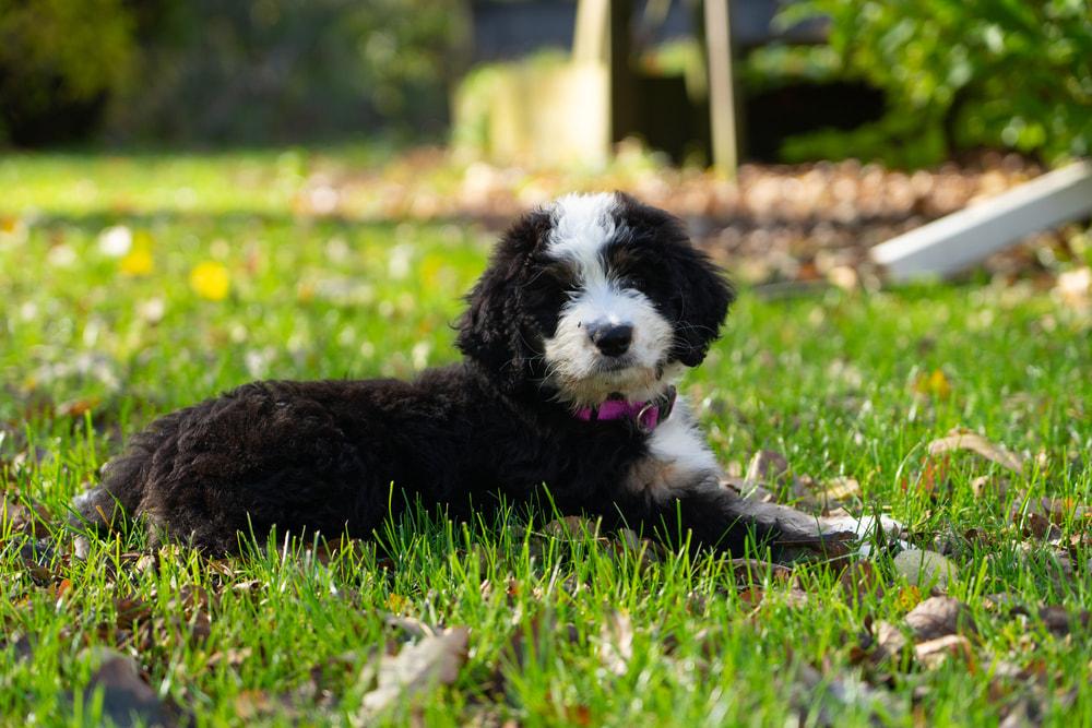 Bernedoode puppy outside