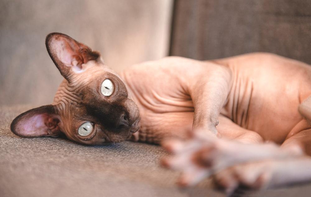 Playful Sphynx cat lying down