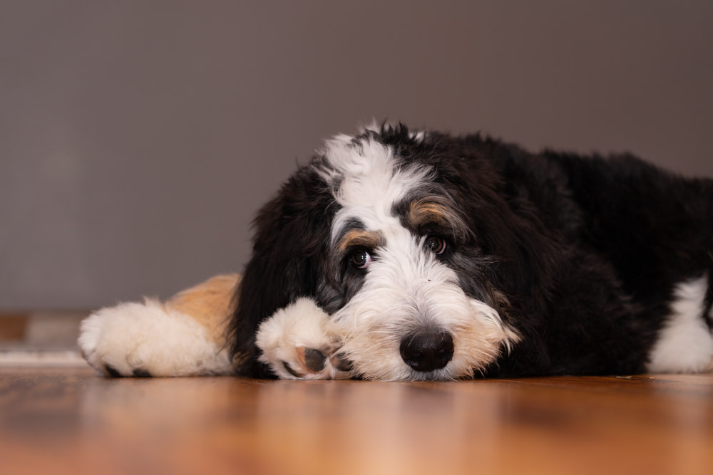 Sick Bernedoodle lying down