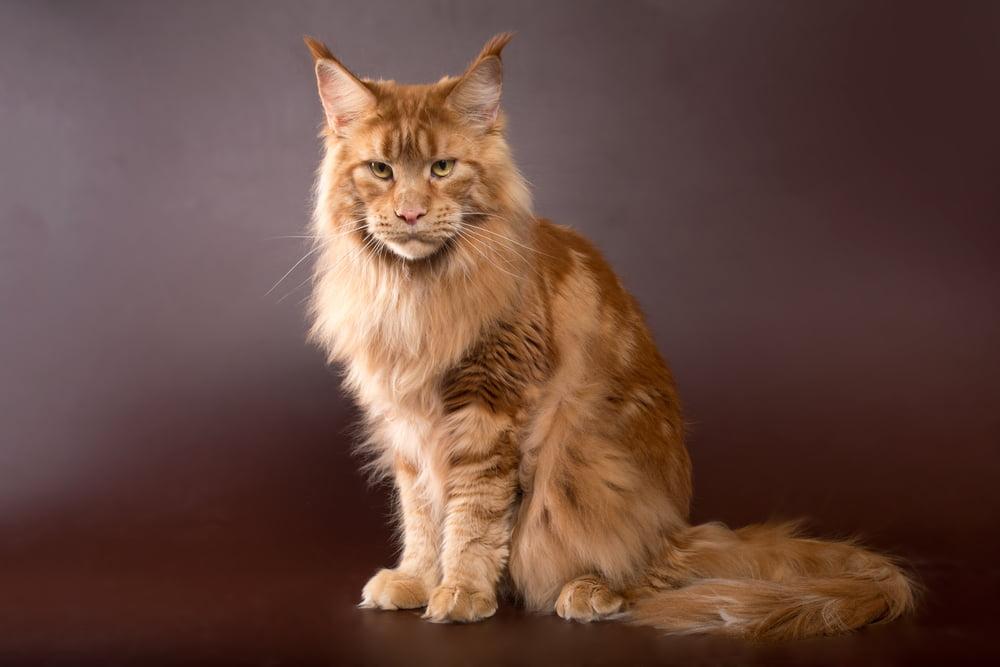 Orange Maine Coon cat
