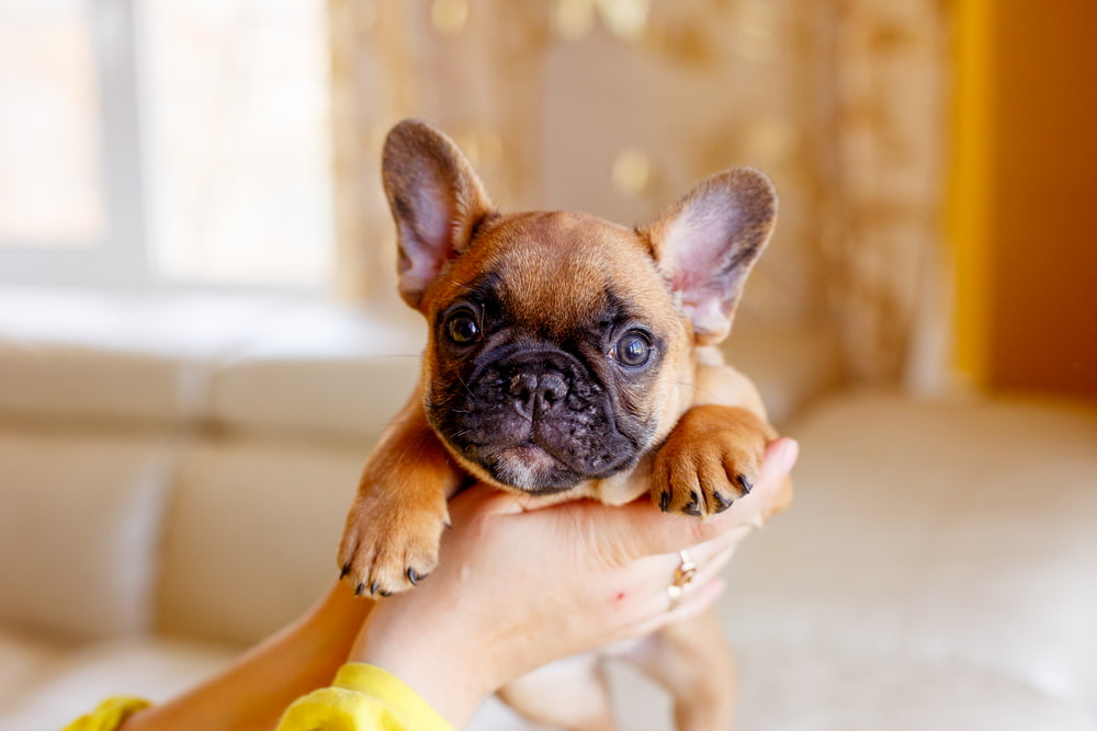 Woman holding French Bulldog puppy