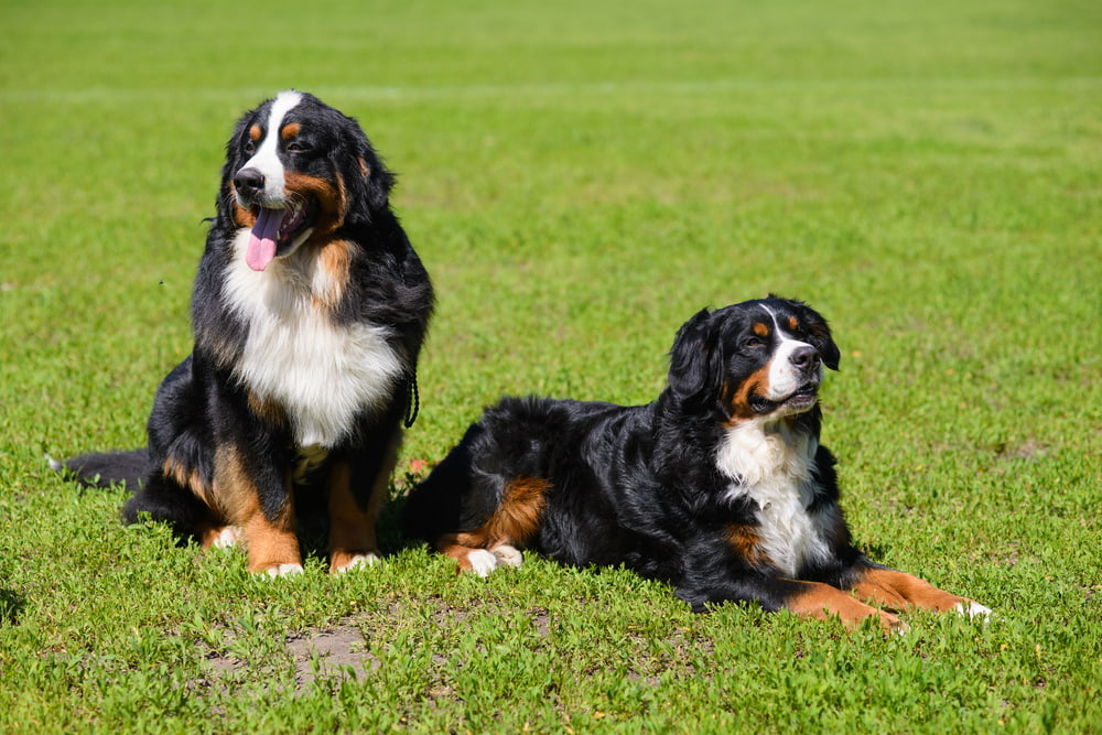 Two Bernese Mountain Dogs outside in summer