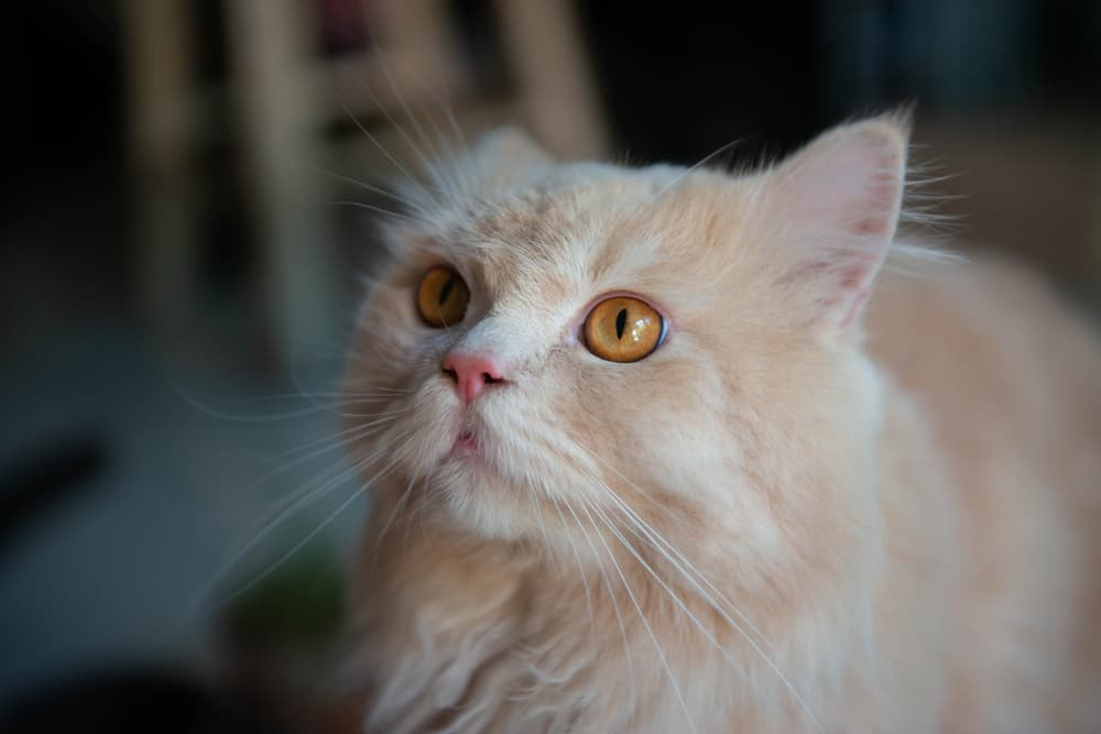 Close up of cat looking to owner