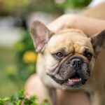 French bulldog being loved by pet parent