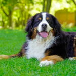 Adult Bernese Mountain Dog lying in grass