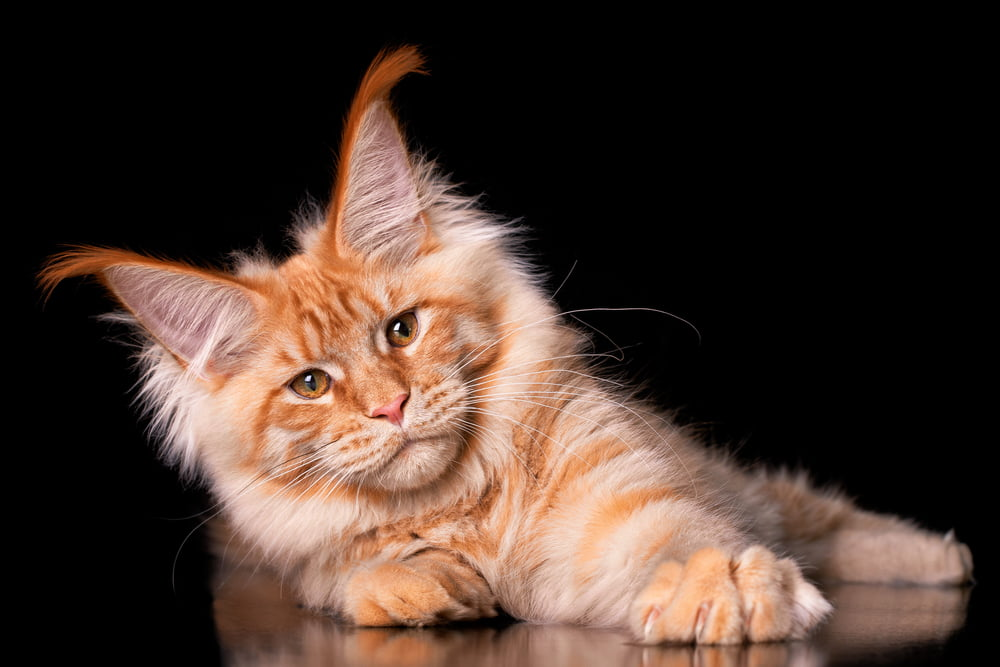 Ginger colored Maine Coon kitten