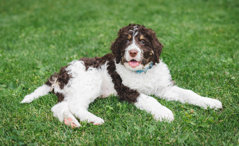 Brown and white Bernedoodle in grass