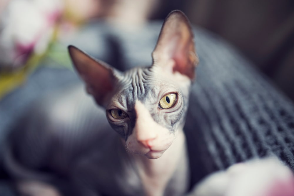 Sphynx cat with yellow eyes