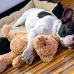 Picture of French Bulldog sleeping