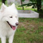 Samoyed walking in a garden